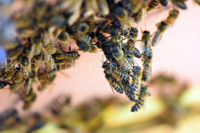 honey bees chaining