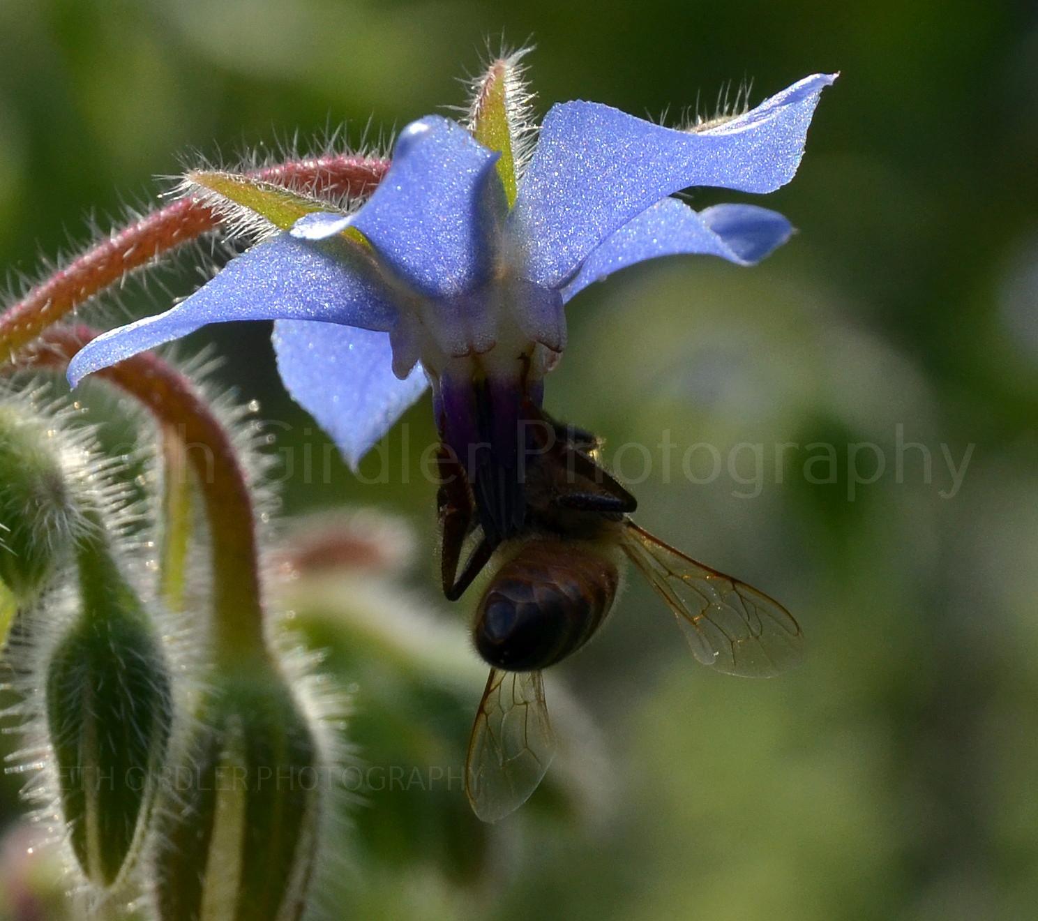 honey bee on borage