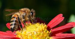 Honey bee on chrysanthemum
