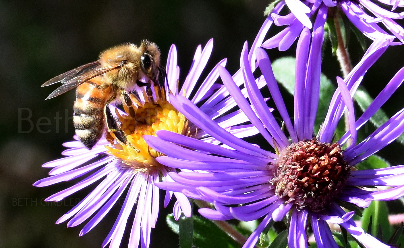 Honey Bee on an aster
