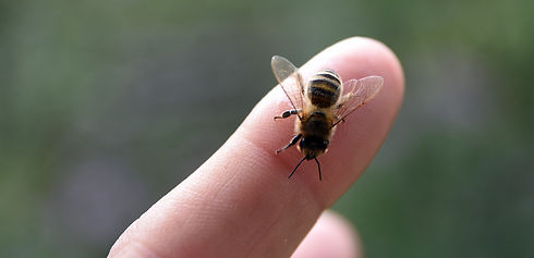 honey bee on finger tip