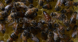 a queen bee and her attendants