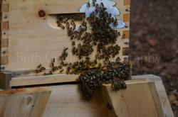 honey bees bearding