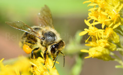 Bee on goldenrod covered in pollen