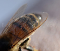 honey bee on my finger, close up