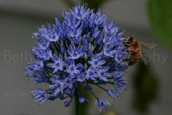 honey bee on an allium flower