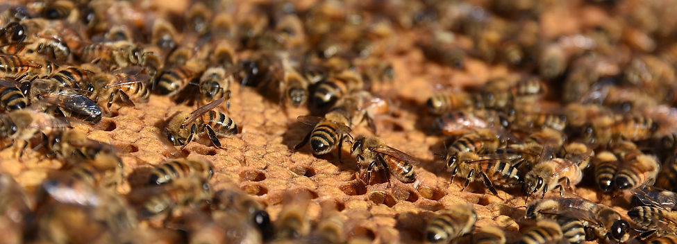 Honey bees and capped brood