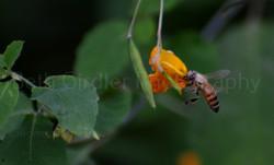 honey bee on jewelweed
