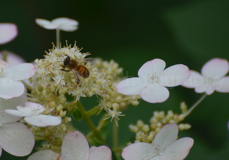 honey bee on hydrangea flower
