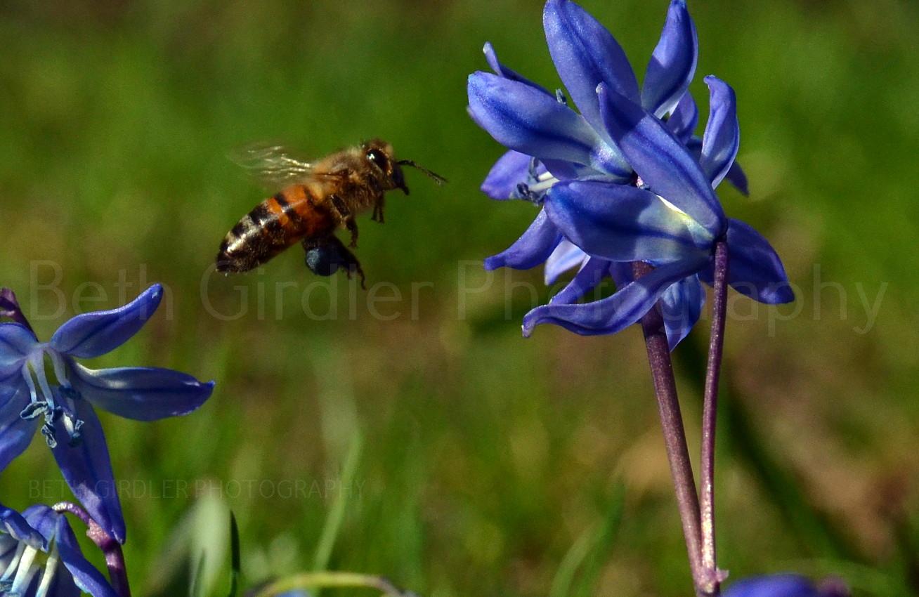 Honey bee with blue pollen