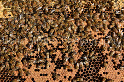bees on capped brood
