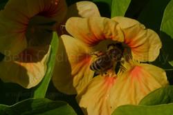 Honey bee on a nasturtium flower
