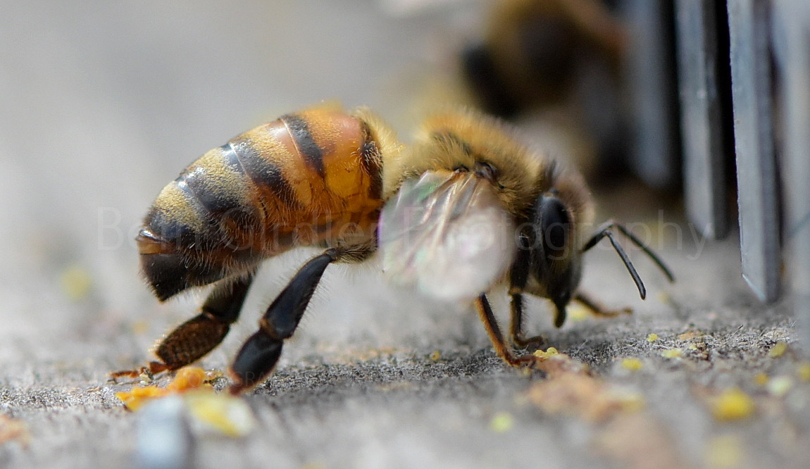 bee fanning at the hive entrance