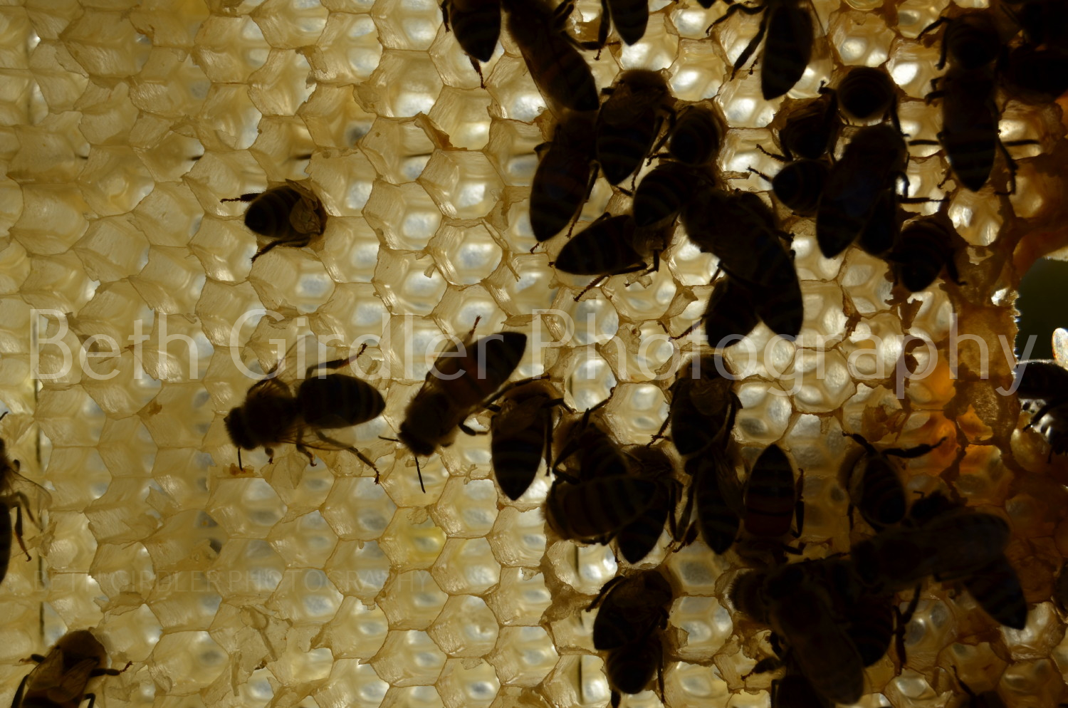 back-lit bees on comb