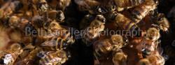 honey bees close up