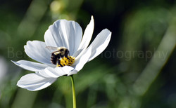 Bumble bee on a cosmo flower