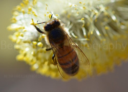 Honey bee on a willow catkin