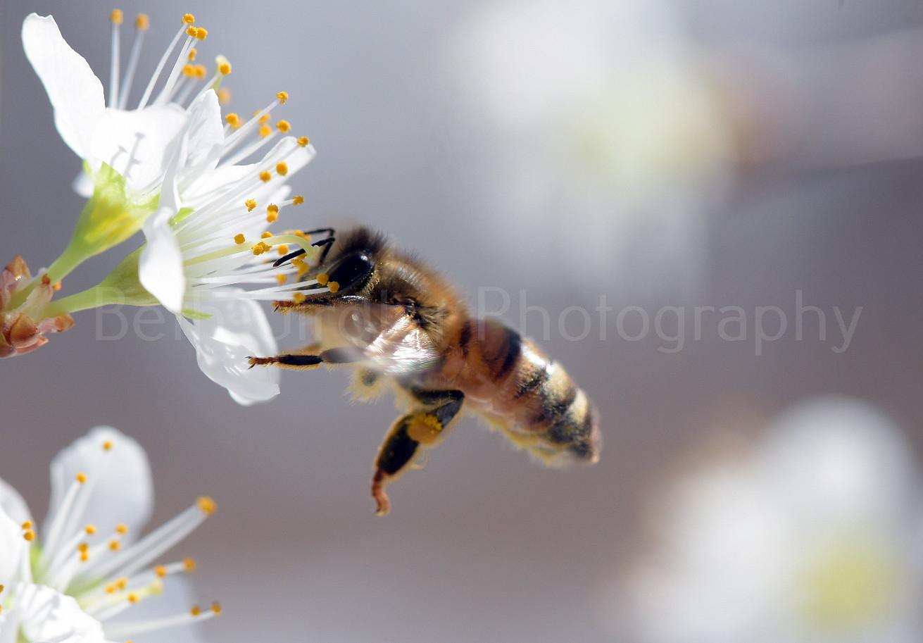 honey bee hovering beside flower