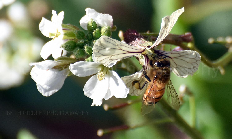 Honey Bee on arugula