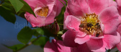 honey bee on rose