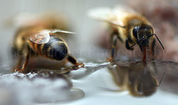 Honey Bees drinking water