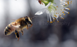 bee with tongue out
