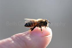 honey bee on my thumb, close up