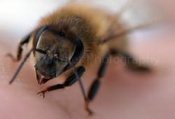 honey bee on my hand