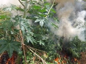 Operação da PF destrói mais de 4.500 pés de maconha no Sertão