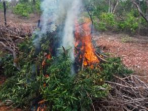 Operação destrói mais de 10 mil pés de maconha no Sertão