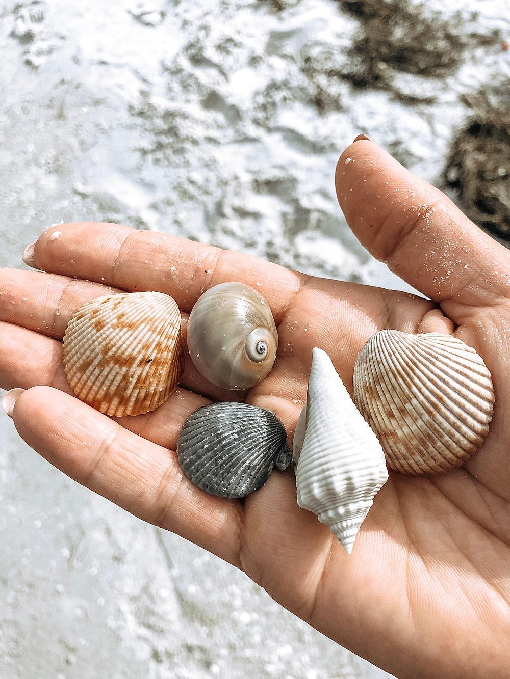 Anna Maria Island Seashells
