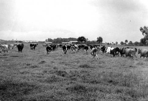 Reagan Dairy cows in the field