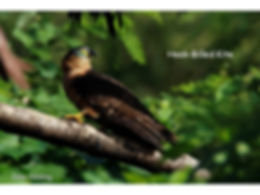 Birds Hook Billed Kite 2 Vaughan.jpg