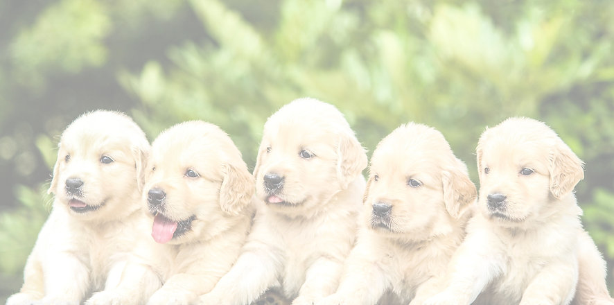 Five%20Golden%20Retriever%20Puppies%20was%20enough%20cuteness%20for%20the%20day_edited.jpg