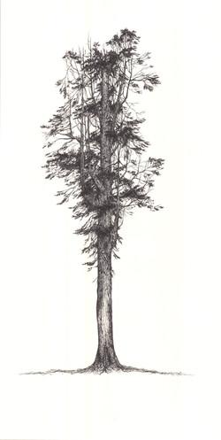 """California Redwood"""