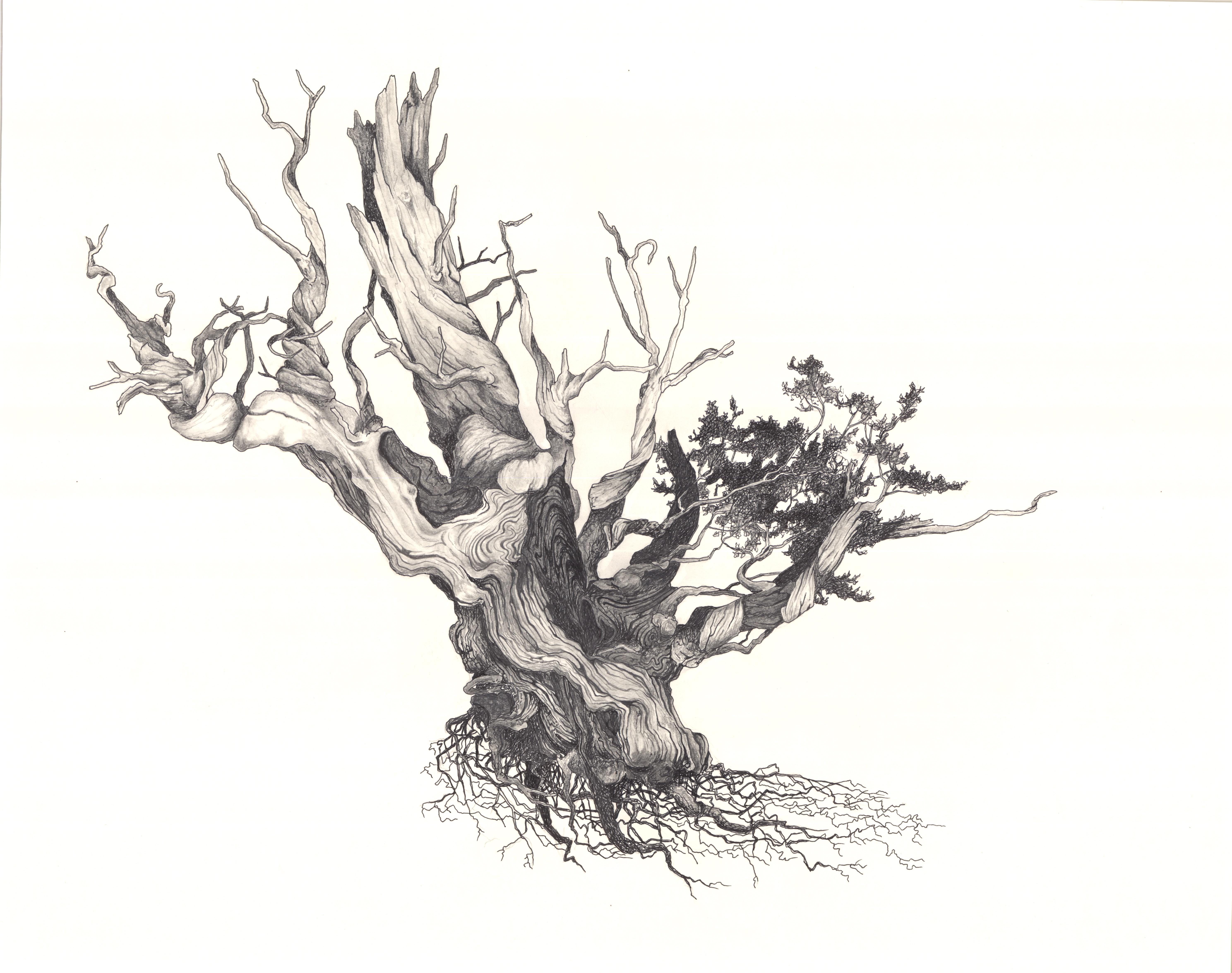 """""""Bristlecone Pine"""""""