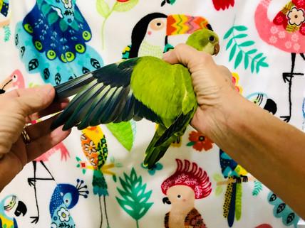 Green Opaline Wing Spread
