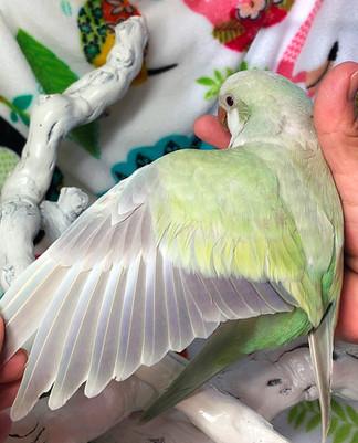 Turquoise Pallidino Quaker Parrot Wing Color