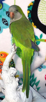 Oliver is one of our Green males.