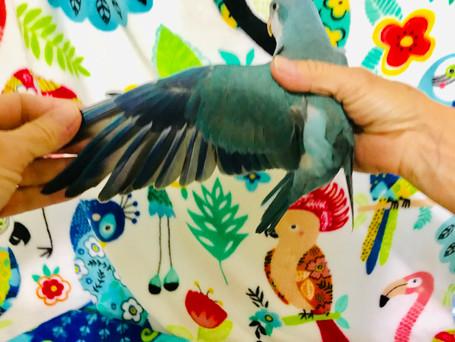 Blue Quaker Parrot Wing Spread