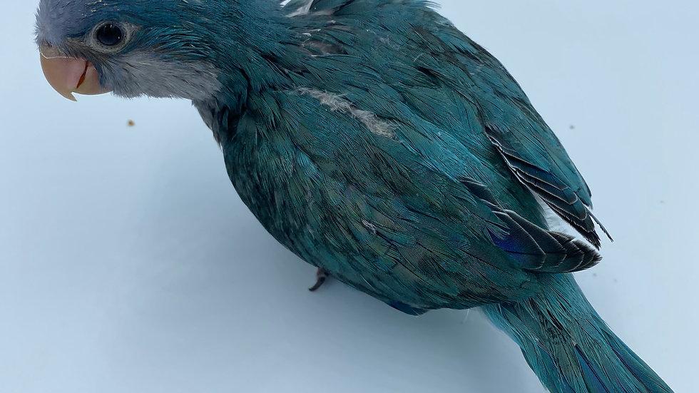 Blue  Quaker  #232