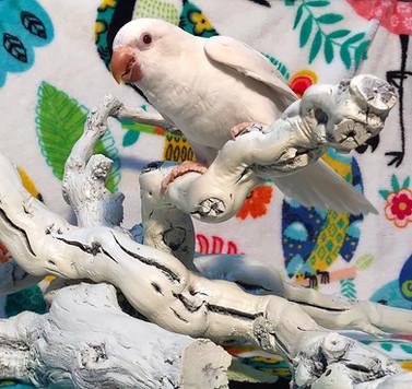 Albino Quaker Parrot Baby