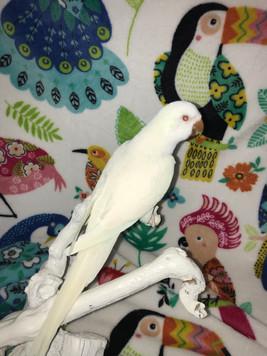 Nonnie our Albino Quaker female