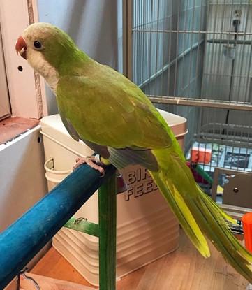 Green Pallid Quaker Parrot