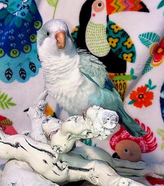 Blue Opaline Quaker Baby