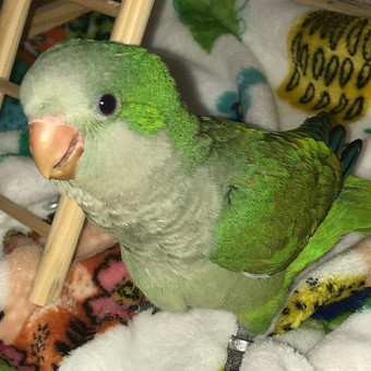 Green Quaker Baby
