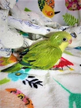 Green Opaline Quaker Baby