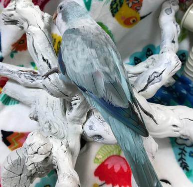 Harvey is our male Blue Opaline