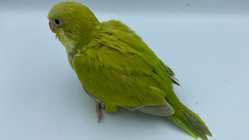 Green Pallidino Quaker #216