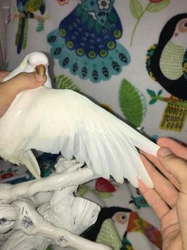Albino Quaker Wing Spread